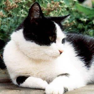 schwarz-weiße Katze liegt im Garten
