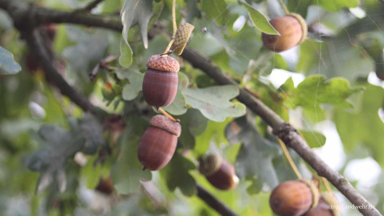 Eicheln am Zweig wie im Hambacher Forst