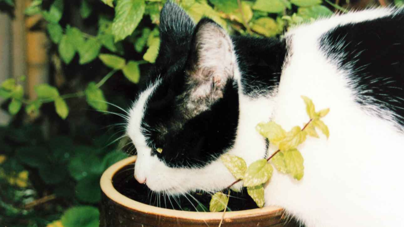 Schwarz-weißer Kater trinkt aus einem Blumentopf