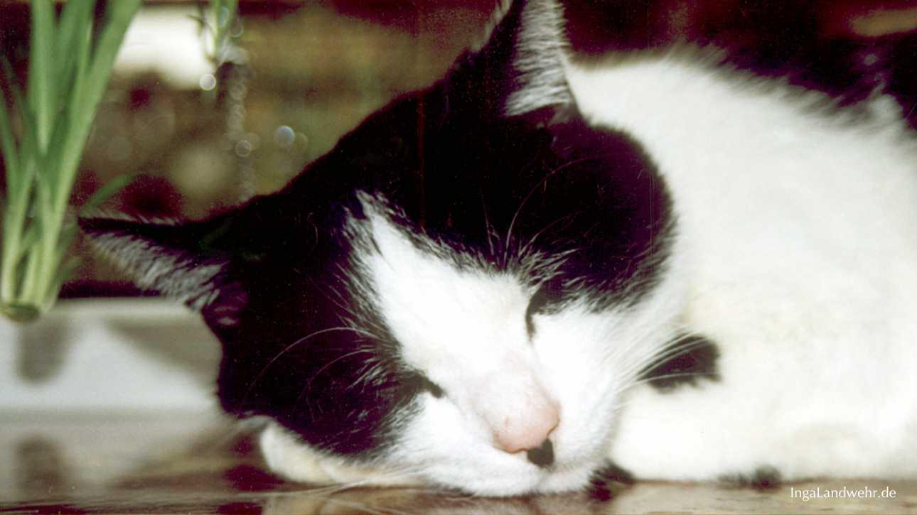 Schwarz-weißer Kater liegt auf der Fensterbank und schläft