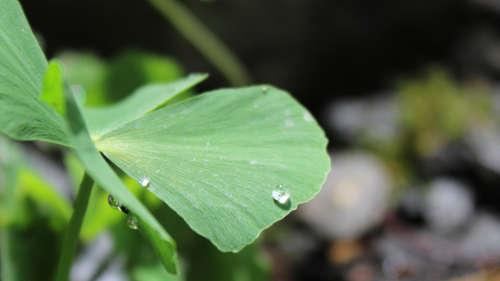 Wassertropfen auf einem vierblättrigen Kleefarn (Marsilea quadrifolia)