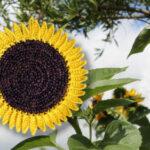 Ein Sonnenblumentopflappen ist in ein Bild mit Sonnenblumen eingefügt